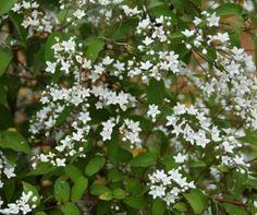 Deutzia setchuenensis var.corymbiflora