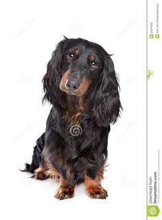 Standard <b>Long</b>-<b>haired</b> <b>Dachshund</b> Stock Photography - Image: 24876302