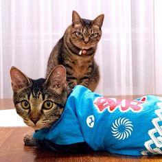 こはるあたしゃエドッコだよ?  チッチはぁ…そっすか…  #猫 #ねこ #ネコ #cat #きじとら #キジトラ #チッチ #こはる #はっぴ #法被 #祭