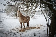 Connemara pony in the snow winter in Ireland by Richard Moore
