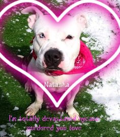 3/13/17 MURDERED!!  I'M COMPLETELY SHOCKED, DISGUSTED AND TOTALLY IN TEARS!! NATASHA WITNESSED HER OWNER BEING ARRESTED AND HER BEST FRIEND SHOT AND KILLED! HER HEART HIDES MORE PAIN THAN ANYONE CAN EVER IMAGINE! SHE NEEDED TIME TO MOURN AND WAS DESPERATE FOR LOVE! SHE´S A REALLY GOOD GIRL! SHE WAS COLDBLOODED MURDERED BY MACC!! /IJ http://nycdogs.urgentpodr.org/natasha-a1101088/