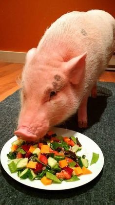 Order your AMPA Cookbook on the American Mini Pig Store The AMPA Cookbook is filled