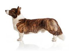 Cardigan Welsh Corgi Dog Breed Information Corgi Dog Breed, Pembroke Welsh Corgi Puppies, Mini Corgi, Cowboy Corgi, Fluffy Corgi, Short Dog, Akc Breeds, Cardigan Welsh Corgi, Black Lab Puppies