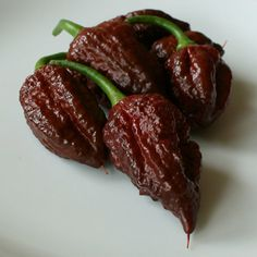 https://flic.kr/p/ZzyTkj | growing-apocalypse-scorpion-chili-LED-grow-tent | Apocalypse Scorpion Chocolate - these chili peppers are very hot (scoville unknown) and beautiful.   Feel free to use with a link to www.thechili.life