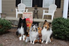 Shelties in the fall.