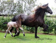 Gypsy/Friesian Colt with his Friesian mother