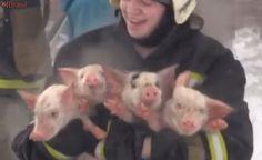 Bombeiros resgatam 150 porcos de incêndio na Rússia