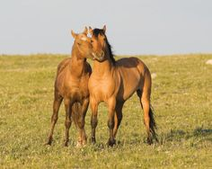 Horse / Wild horses, mustangs, in Pryor Mountains, MT - dun and palomino stallions at play