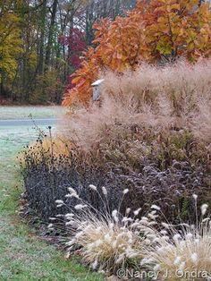 landscaping, ornamental grasses Quercus dentata with Pennisetum alopecuroides 'Cassian', Solidago rugosa 'Fireworks', Rudbeckia fulgida var. fulgida, Symphyotrichum novae-angliae, and Panicum virgatum 'Dallas Blues' mid-November 2007