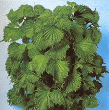 Perilla Green Ao Shiso Seed -----  In Japanese Folk Medicine, Shiso is used to treat the common cold, rheumatoid arthritis, food poisoning, and inflammation like hay fever, allergies, arthritis, and inflammatory skin diseases.