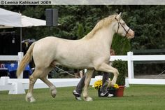Double diluted (might be a perlino but can't be sure) Welsh D stallion Sublime Sponte, born in 2006 in France. Double diluted (perlino, cremello, smoky cream) Welsh Cobs are quite rare even though single dilutes (buckskins, palominos, smoky blacks) are quite common.
