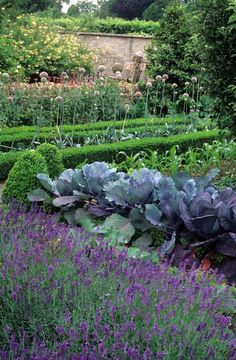 Rosemary Verey's Potager Kitchen vegetable garden at Barnsley House, Gloucestershire. Neat rows of Lavender. Lavandula angustifolua, cabbage. Borage. - photo John Glover
