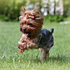 Yorkshire Terrier <3 | iork_kompanion