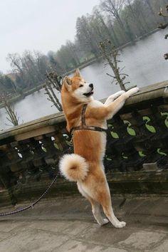 Imagen de akita, animals, and dog