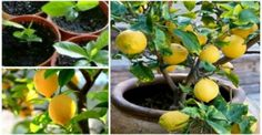 How to grow your own lemon tree! Even in northern climates and in the dead of winter, a productive lemon tree can be growing inside of your home or garage. Organic Gardening, Gardening Tips, Gardening Vegetables, Lemon Tree From Seed, How To Grow Lemon, Lemon Seeds Grow, Lemon Uses, Grands Pots, Growing Tomatoes