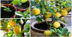 Zitrone ist eine der reichsten Nahrungsmittel in Vitaminen und Nährstoffen. Diese vielseitige Zutat kann in Schönheitsrezepten, in kulinarischen Zubereitungen und vielen anderen Dingen verwendet werden. Leider enthält die Zitrone, die wir auf unseren Märkten finden, oft Chemikalien, die einige ihrer Vorteile mit sich bringen, und gefährden unsere Gesundheit. So können Sie auf einfache und schnelle …