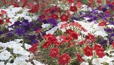 Plant a Red, White and Blue Flower Garden #summer #holiday #fourthofjuly