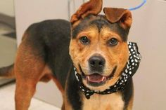 NAME: Gunther  ANIMAL ID: 29745873  BREED: Rotti/shep mix  SEX: male  EST. AGE: 3 yr  Est Weight: 64 lbs  Health: heartworm pos  Temperament: dog friendly, people friendly  ADDITIONAL INFO: RESCUE PULL FEE: $49  Intake date: 9/25  Available: 10/1