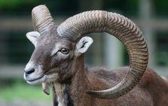male wildlife horn sheep mammal fauna goats vertebrate sheeps european ruminant animal portrait aries horned bighorn mouflon barbary sheep european mouflon ovis orientalis musimon cow goat family argali