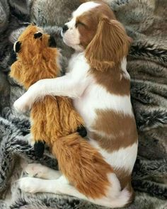 Everything we all adore about the Cavalier King Charles Spaniel Puppies Cavalier King Charles Spaniel, King Charles Puppy, Cute Puppies, Cute Dogs, Baby Animals, Cute Animals, Dog Competitions, Puppy Mix, Spaniel Puppies