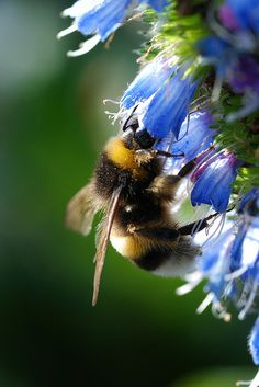 Abejorro (Bombus Terrestris) | Call A1 Bee Specialists in Bloomfield Hills, MI today at (248) 467-4849 to schedule an appointment if you've got a stinging insect problem around your house or place of business! You can also visit www.a1beespecialists.com!