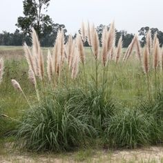 Common pampas grass | Cortaderia selloana