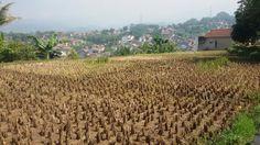 Rice tree