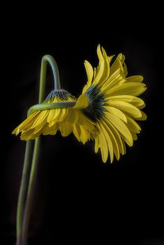 Leah McDaniel Photography - Yellow Gerbera Daisies in an embrace