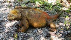 Iguana, Lizard, Reptile, Galapagos