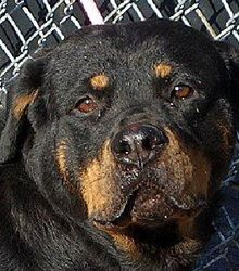 For the Love of Dog - Rottweiler Rescue Resources for New England and the North East US. Rotts On Parade Newsletter