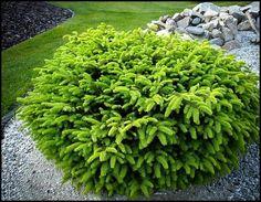 45 Fantastic Evergreen Landscape Ideas For Front Yard Garden - adney news Garden Shrubs, Flowering Shrubs, Landscaping Plants, Front Yard Landscaping, Shade Garden, Landscaping Ideas, Landscaping Edging, Tree Garden, Hillside Landscaping