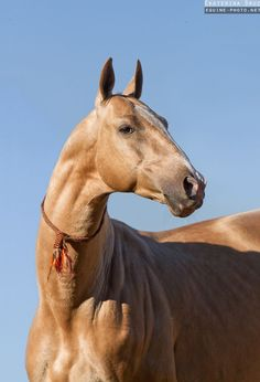Photos of Akhalteke horses by Ekaterina Druz Equine Photography Most Beautiful Horses, All The Pretty Horses, Akhal Teke Horses, Andalusian Horse, Horse Anatomy, All About Horses, Horse Portrait, Horse Pictures, Horse Photos