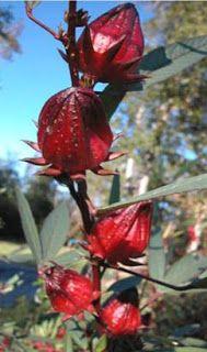 Renee's Garden Seeds: Renee's Blog: In The Kitchen – Growing Your Own Hibiscus Treats