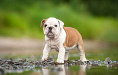 #Bulldog #puppy ready to jump it's first puddle  For more cute pinable pictures of #dogs click on this image