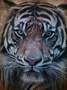 Tiger by Steve McKinzie Tiger Sketch, Tiger Drawing, Beautiful Creatures, Animals Beautiful, Cute Animals, Lion Tattoo, Tattoo Ink, Arm Tattoo, Hand Tattoos