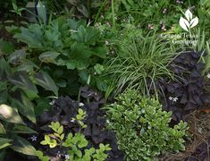 Beautiful foliage design with dwarf pittosporum and other shade plants Central Texas Gardener