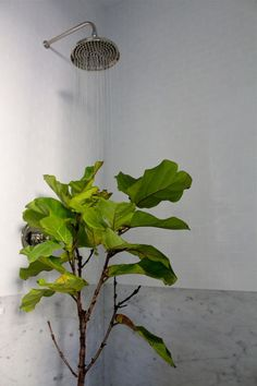 fiddle leaf fig tree in the shower ; How to save revive a fiddle leaf fig tree. Fig Leaf Tree, Fig Leaves, Tree Leaves, Ficus Lyrata, Fiddle Leaf Fig Tree, Buy Plants, Indoor Plants, Indoor Gardening, Inside Plants