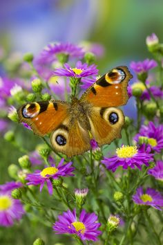 The Peacock Butterfly on daisies, Inachis io, photographed by;  Darrell Gulin