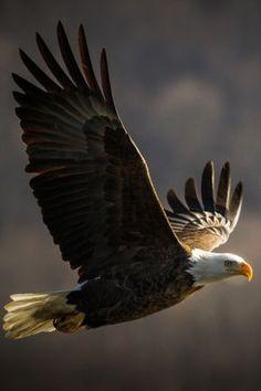 ♥ Sempre aprendendo a voar como águia, segundo a Palavra de Deus. Eagle In Flight, Raised Right, Raptors, Bald Eagle, Eagles, Politicians, Wings, Donald Trump, Wildlife