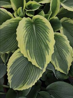 Hosta 'Bridal Falls' Beautiful