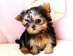 Yorkie puppy it looks sad :(