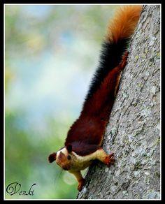 Indian giant squirrel @ Mudumalai