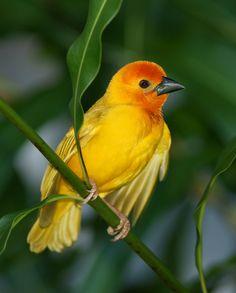 Golden Palm Weaver, an African tropical bird with gorgeous golden color!
