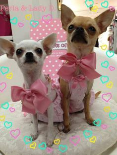 Chihuahua Attire, Laurie Pridgeon #dogs #animal #chihuahua