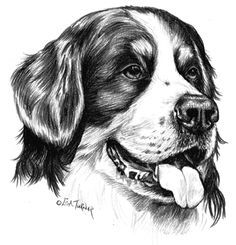 pencil drawings of bernese mountain dog - Google Search