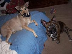 lizardmarsh: Memphis TN: 2 Dogs Still Missing After Home Invasion! PLEASE HELP!