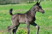 2012 Black Filly  This incredible, rare black filly represents an amazing opportunity for a breeder. By Bellagio RCA and out of a Tanjara RCA daughter, she truly has it all!