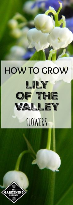 Learn how to grow Lily of the Valley in your flower gardens. Lily of the Valley flowers look lovely under shade trees or mixed with spring-blooming bulbs.