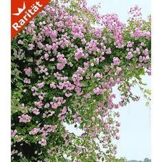 winterharter hibiskus 'summerific®' 'cherry cheesecake', 1 pflanze, Garten dekoo
