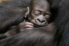 A five-day-old gorilla sleeps in the arms of its ten-year-old mother N'Yokumi at an enclosure at the zoo in Zurich on March The gender of the baby gorilla is not yet known and a name has yet to be chosen. Types Of Monkeys, Baby Gorillas, Fine Art Prints, Framed Prints, Animal Tracks, Mountain Gorilla, Old Mother, Image Of The Day, Animals Images